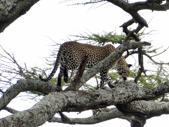 large_Leopard_in_tree.jpg