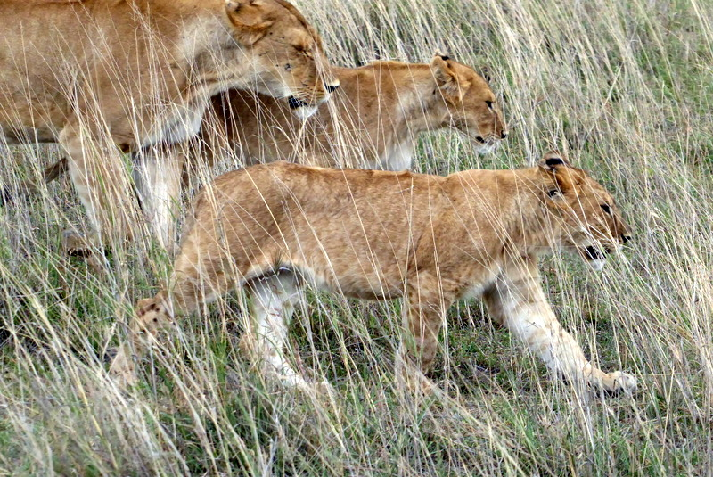 large_Lions_prowling.jpg