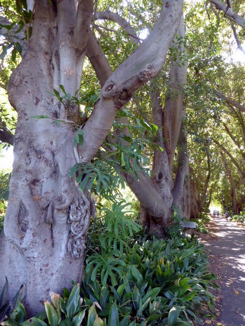 large_Morton_Bay_fig_tree.jpg