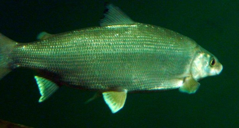 Omul fish