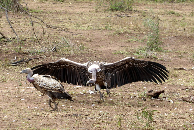 large_Ruppell_s_Griffon_Vulture.jpg