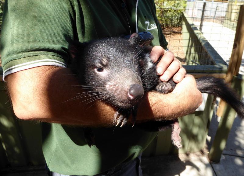 large_Tasmanian_devil.jpg
