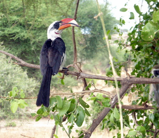 Von Der Decken Hornbill