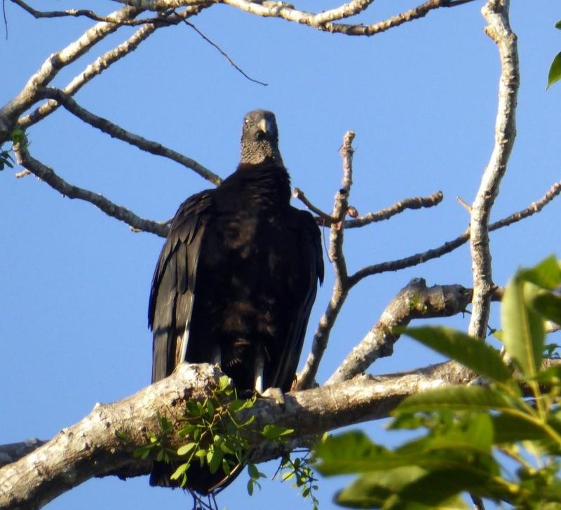 large_Vulture.JPG