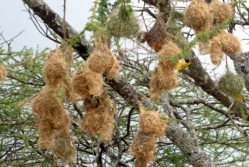 large_Weaver_bird_nests.jpg
