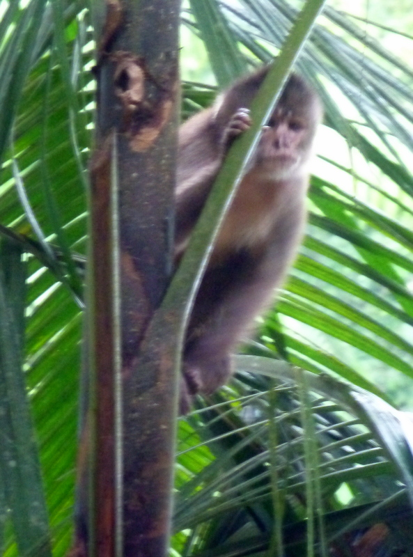 large_capuchin_monkey.jpg