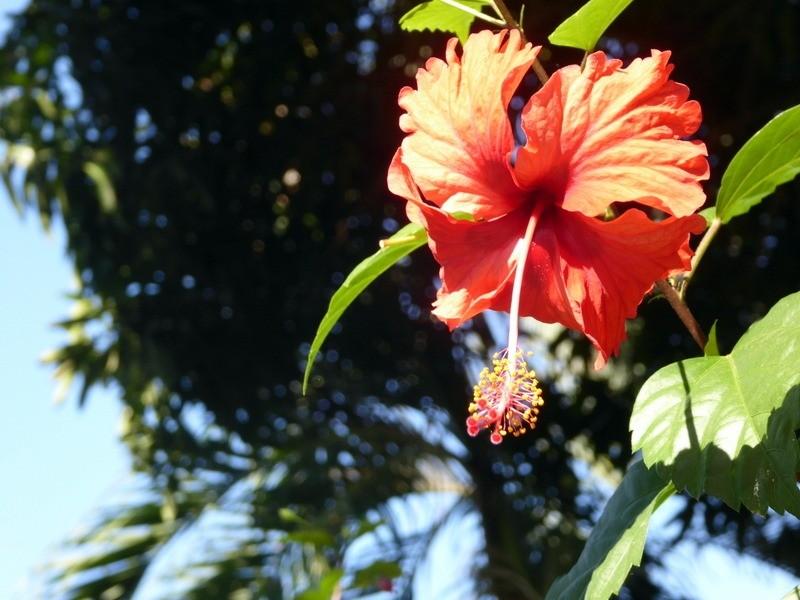 large_hibiscus.JPG