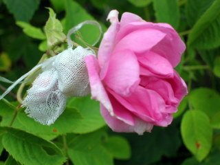Rosa damascena blossom and seed-catching bag