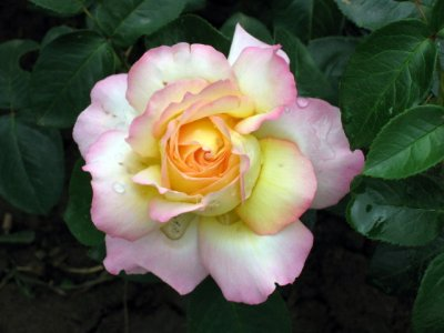 Glamorous rose, but no fragrance