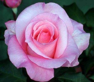 Garden_rose_Dec_2008.jpg
