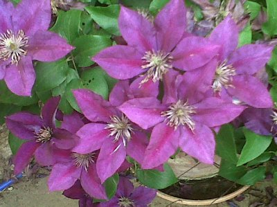 Kay's beautiful clematis.
