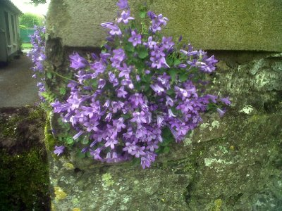 Not sure what these pretty clusters growing in cracks in stone walls are.