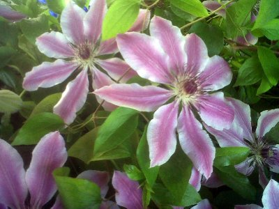 Clematis flowers are spectacular.
