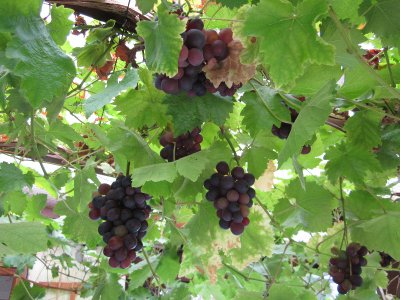 Grapes ripening in the front porch