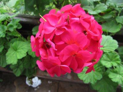 A lush geranium specimen