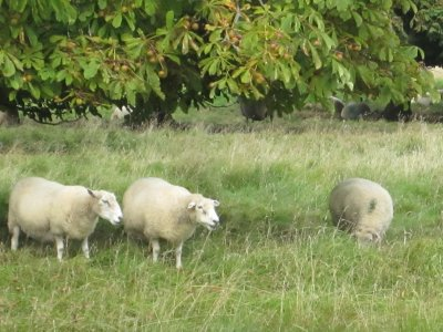 Sheep eating chestnuts