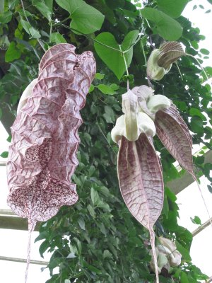 A most fascinating Day-of-the-Triffids-like plant: Aristolochia grandiflora or pelican flower from the Caribbean