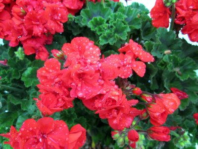 Glorious potted geraniums in front of the cottage.