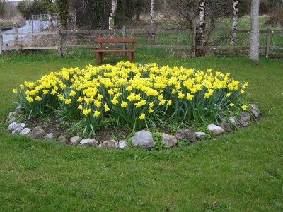 Daffodils in NCW
