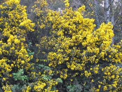 Cheerful, yellow and plentiful gorse