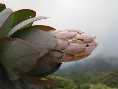 Emerging protea bud