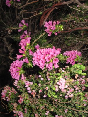 Fynbos ericaceae