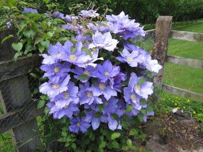 Extravagant Clematis flowers