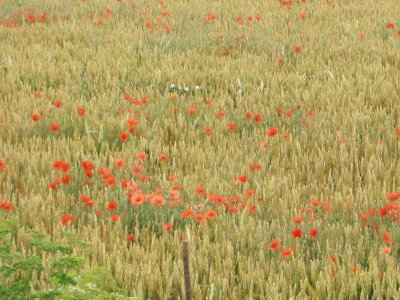 Poppies amongst the wheat.