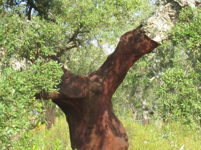 Millions of cork trees in Spain and Portugal along our route. Many have been harvested, the lighter the colour the more recently harvested.
