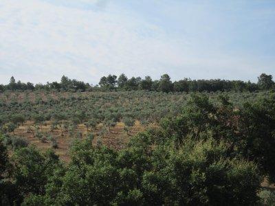 Ubiquitous olive plantations.