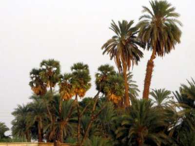 Palm trees loaded with dates