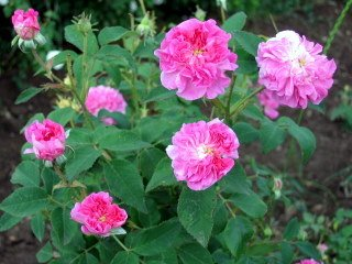 Rosa damascena blossoms