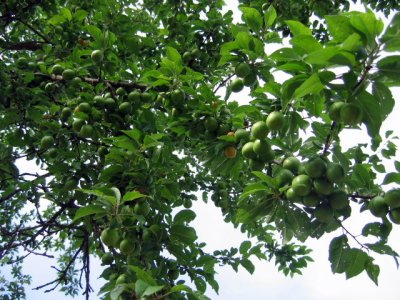 Unripe walnuts on the tree