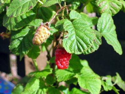 Berry-nice gardening