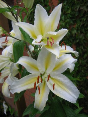 Lovely rain-dappled lillies in Jonathan's driveway