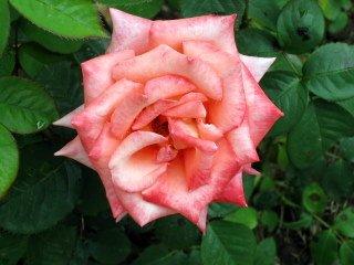 Bulgaria darker pink rose IMG_7486