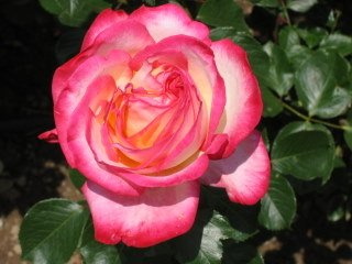 Bulgarian pink and cream rose IMG_7619
