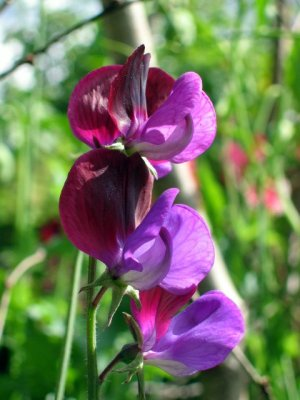 purple_lupin_IMG_8130.jpg