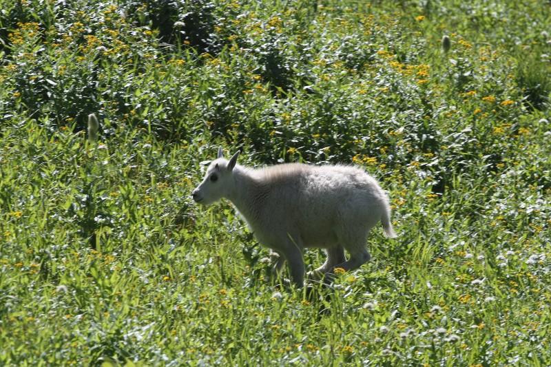 Mountain goat @ Glacier National Park