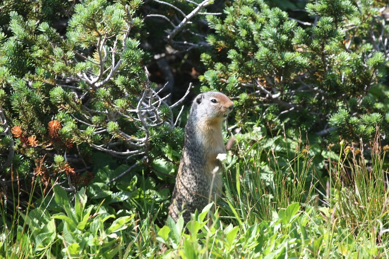 Wee animal (weasel?) @ Glacier National Park