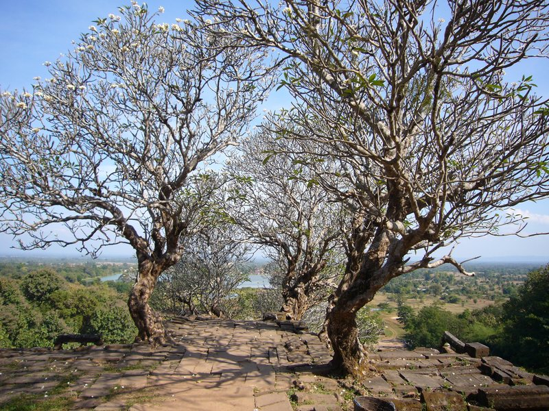 Trees nearly at the top of wat phou