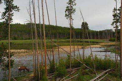 Yellowston..bir_elk.jpg