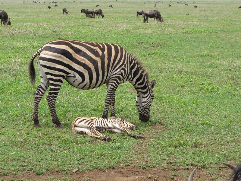 Zebra with sleeping baby