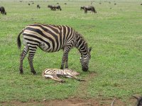 Zebra with sleeping baby