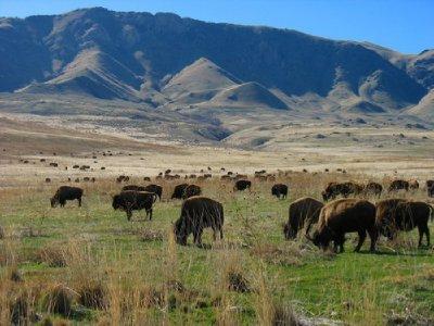 herd_of_bison.jpg