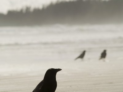 Crows on the Beach 1