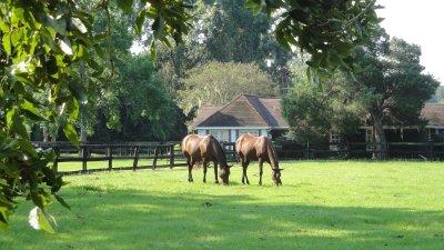 horses at plantation