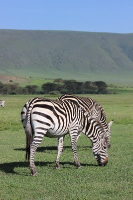 zebras with mountain view