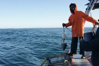 Bait with tuna fish head