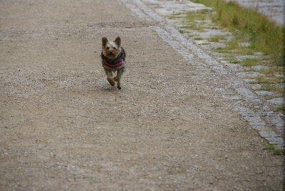 Bella at a sprint
